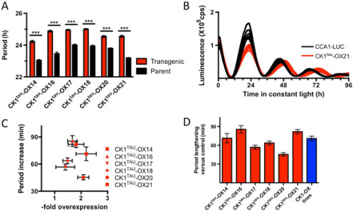 Overexpression of CK1tau induces long period rhythms. A) Free-running period was analysed in 6 independent transgenic lines overexpressing CK1TAU. Lines were compared against parent line CCA1-LUC in the identical plate position to the transgenic lines. In all cases, a significantly (p < 0.001) long circadian period was observed. B) Examples of traces of overexpression line CK1TAU-OX21 (red) compared to the parent line (black) in free-running conditions. C) Period increase (as in panel A) plotted against overexpression (densitometry of immunoblots, n = 3, as described in the Methods section), showing that in all transgenic lines, overexpression of the tau allele is associated with long period rhythms. D) Subtracted period lengthening of the six CK1tau mutant lines (red bars) compared to the parent line. Combined data of six previously published [18] independent overexpression lines of the wild-type CK1 allele were plotted for comparison (in blue).