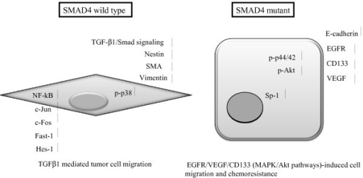 A Model of phenotypic alteration involving SMAD4 loss in PDAC cells. SMAD4 wild type PDAC cells exhibits more fibroblast-like morphology, which high express Nestin, SMA, CD44 gene, with the increase of activation of p38 MAPK and TGFβ1 signaling, and acquisition of a more high expression levels for the c-Jun, c-Fos, Hes1 NF-κb transcription factor genes. In contrast, inactivation of SMAD4 in PDAC cells exhibits more well differentiate epithelial like (cobblestone) morphology and leads to an overall increase in E-cadherin, CD133, VEGF, EGFR and Sp-1 expressions with high levels of activation p-44/42 and PI3K/Akt signaling pathways.