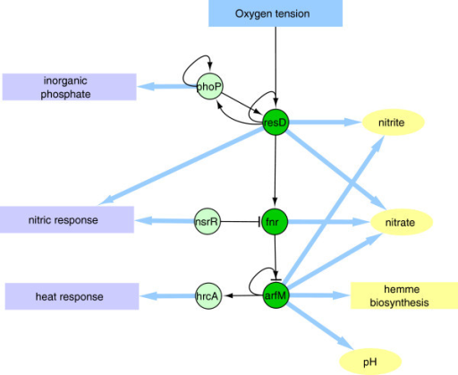Respiratory functions. Regulatory cascade associated with the gene induction under low oxygen conditions (dark green circles). As described in the text, other TFs (light green circles) were also clustered in this module, for which functions in the adaptation to respiratory stress have been described.