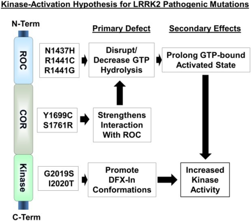 Summary of a kinase-activation hypothesis for the mechanism of action of LRRK2 pathogenic mutations. GTP, guanosine triphosphate. [Color figure can be viewed in the online issue, which is available at http://wileyonlinelibrary.com.]