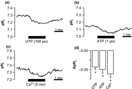 P2Y2 and Ca2+ sensing receptors (CaSR) stimulation causes an acidification in perfused medullary thick ascending limbs (mTALs). (a–c) Representative traces of perfused mTALs exposed for 2 min to basolateral UTP (100 μm), ATP (1 μm) and high Ca2+ (5 mm). (d) Summarized data of ΔpHi induced with UTP, ATP and Ca2+ (n = 4–8). *Indicates statistical significance P < 0.01.