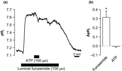 Luminal furosemide inhibits the basolateral ATP-induced alkalization. (a) Original trace of an experiment, where ATP (100 μm) is added to the bath in the presence of luminal furosemide (100 μm). (b) Summary (ΔpHi) of the data, n = 6. *Indicates statistical significance, P < 0.001.