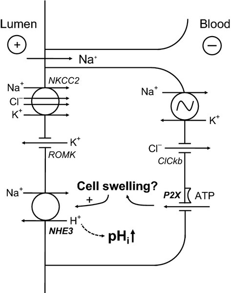 Model of P2X receptor-mediated intracellular alkalization in medullary thick ascending limb. Stimulation of the P2X receptor causes an influx of cations, which should lead to cell swelling. This in turn may stimulate the apical Na+/H+ exchanger (NHE3), leading to the observed intracellular alkalization.
