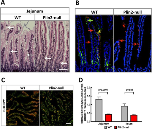 Effects of HF diet feeding on intestinal lipid properties.(A) Representative H&E stained jejunal sections from HF fed WT and Plin2- mice. Note the apparent greater abundance of CLD (arrows) in intestinal villi from WT mice compared to Plin2- mice. Scale bar = 100 μm. (B) Representative immunofluorescence images of jejunal sections from fasted and HF fed WT and Plin2- mice stained with guinea pig anti-Plin2 (green) and rabbit anti-Plin3 (red) showing Plin2- (green arrows) and Plin3- (red arrows) coated CLD. Yellow arrow indicates CLD coated with Plin2 and Plin3. (C) BODIPY stained CLD (Red) and Alexafluor-WGA (green) stained intestinal villi surfaces from fasted and fed WT and Plin2- mice. Scale bar = 100 μm. (D) Relative enterocyte lipid levels. Values are mean BODIPY fluorescence area/cell ± SEM from 8–10 200X sections from the jejunal and ileal regions of each mouse. Four animals per group were analyzed. P-values were determined using the unpaired t-test (Prism 6, GraphPad Prism).
