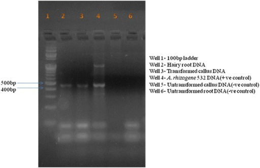 PCR amplification of rol A gene