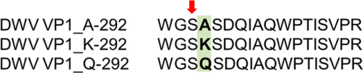 Single-amino-acid substitution A/K/Q at position 292 in DWV VP1 identified using LC-MS/MS.S-291 (marked with arrow) had highest predicted phosphorylation score for phosphoglycerate kinase together with S-234. The score for phosphoglycerate kinase was similar for all types of the single-amino-acid substitution. However, the Q substitution had significantly higher score for DNA-dependent protein kinase compared to the K and A substitutions. For details on the amino-acid substitution and details on prediction of kinase phosphorylation, see Figure Supplement 4 and Table Supplement 4.