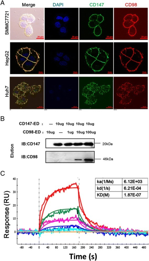 CD98 directly interacts with basigin in HCC cells. a Co-localization of basigin and CD98 in SMMC7721, HepG2 and Huh7 HCC cell lines. The cells were grown on coverslips for 24 h, fixed and stained with Dylight488-conjugated goat-anti-rabbit antibodies (basigin, Green) and Dylight594-conjugated goat-anti-mouse antibodies (CD98, Red). Huh7 cells were treated with 0.2 % Triton X-100 after fixation to visualize the intracellular distribution of basigin and CD98. Bar, 10 μm. b CD147-ED pulls down CD98-ED in vitro. HAb18 (antibody against CD147-ED; 10 μg) was used as a coupling antibody by immobilizing it onto the coupling resin. Then, the indicated amount of the antigen was added and eluted. The collected samples were analyzed by western blotting. c Biophysical analysis of the interaction of CD98-ED with CD147-ED using SPR. The indicated concentrations of purified CD98-ED were injected over immobilized CD147-ED, and the biophysical parameters were derived from a 1:1 binding model (red line). RU, response units