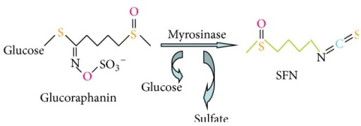 Glucoraphanin is the major glucosinolate in broccoli. Under neutral conditions, Grn is hydrolyzed by myrosinase to yield glucose, sulfate, and sulforaphane (SFN).
