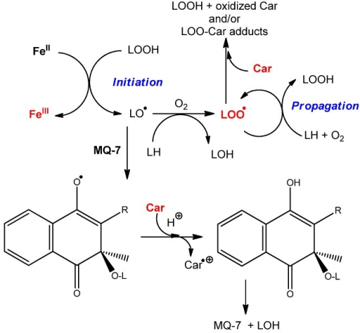 Proposed mechanism for the inhibition of FeII-induced lipid peroxidation (from [31]) by carotenoids, and interaction of marine bacterial carotenoids with menaquinone MQ-7.