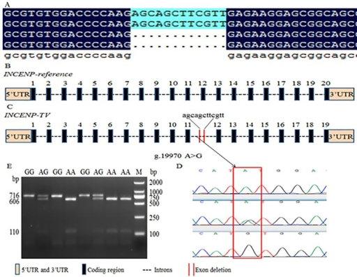 Identification of INCENP -TV and SNP g.19970 A>G and PCR-RFLP of of bovine INCENP gene.(A) The cloning sequencing result of INCENP-cDNA by a pair of primers, F4 and R4. A new transcript INCENP -TV which deleted 12 bp was found. (B) Genomic structure of the bovine INCENP gene which consists of 20 exons, comprising 2646 bp of coding sequence. (C) The splicing pattern of the INCENP-TV splice variant which deletes exon 12, merely composed of 12 bp. (D) The SNP g.19970 A>G (rs:109416157) which lies in the region of intron 11 was discovered by sequencing (E) PCR-RFLP was employed to detect the mutation by Nde I. The products of endonuclease digestion were tested in 2.5% agarose gel, showing three genotypes: AA (606 +110 bp), AG (716 + 606 + 110 bp) and GG (716 bp).