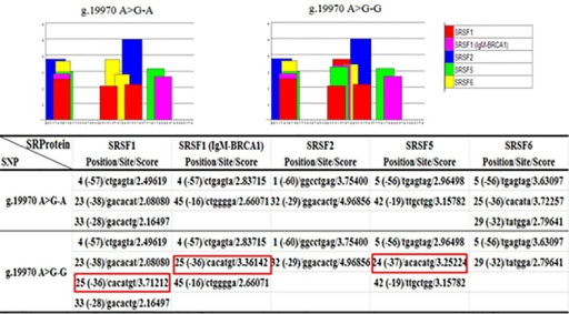 Exonic splice enhancer (ESE) motif threshold scores associated with INCENP genotypes.Bar graphs represent scores above the threshold for the ESE motifs within the A or G allele in locus g.19970 A>G. The red square indicates that the introduction of allele G, relative to allele A in locus g.19970 A>G, increased three binding sites of the auxiliary splicing proteins SRSF1, SRSF1 (IgM-BRCA1) and SRSF5 and deleted one of SRSF6.