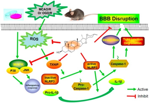 Proposed mechanisms of ruscogenin on BBB dysfunction after ischemic stroke. Upon hypoxia and ischemia, ROS is generated and MAPK activated; activated TXNIP activates the inactivated NLRP3 inflammasome, and triggers the expression of IL-1β and caspase-1, which contribute to the decreased tight junctions' expression, stress fiber formation and changes in cell permeability. Ruscogenin ameliorates the ischemia-hypoxia-induced BBB disruption through upregulating the expression of tight junction proteins, and suppressing the expression of IL-1β and caspase-1, modulating the TXNIP/NLRP3 inflammasome activation and MAPK pathway.