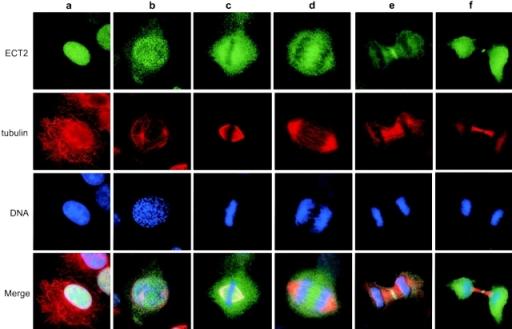 Subcellular localization of ECT2 in interphase and mitotic cells. Endogenous ECT2 in HeLa cells was detected by affinity-purified anti-ECT2 antibodies (green). Tubulin (red) and DNA (blue) were also stained with anti–β-tubulin antibody and 4′,6-diamidino-2′-phenylindole (DAPI), respectively. Merged images are also shown at the bottom, where colocalization of ECT2 and tubulin results in yellow color. a, interphase; b, prometaphase; c, metaphase; d, anaphase; e, telophase; f, cytokinesis.
