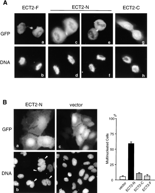 Effects of a dominant negative mutant of ECT2 on cytokinesis. (A) Subcellular localization of exogenously expressed ECT2 protein. The full-length (ECT2-F; panels a and b), NH2-terminal half (ECT2-N; panels c–f), or COOH-terminal half (ECT2-C; panels g and h) of ECT2 was transiently expressed in U2OS cells as a GFP-fused protein. GFP fusion proteins were detected by green fluorescence (panels a, c, e, and g). DNA was stained with DAPI (panels b, d, f, and h). (B) The NH2-terminal domain of ECT2 acts as a dominant negative mutant for cytokinesis. Cells were transfected with GFP-fused ECT2-F, ECT2-N, or ECT2-C, or GFP vector alone. GFP-expressed cells are visualized by green fluorescence (panels a and c). DNA was stained with DAPI (panels b and d). Arrowheads indicate multinucleated cells. Bars, 20 μm. (Right panel) GFP-expressing multinucleated cells were scored under immunofluorescent microscopy 72 h after transfection. Data are average of three independent experiments.