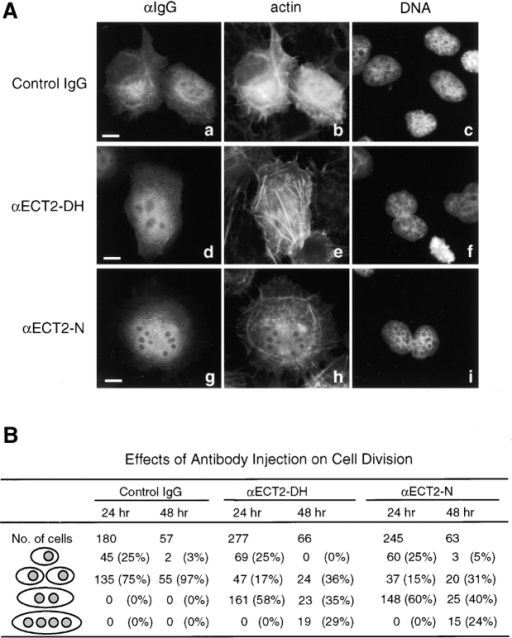 Inhibition of cytokinesis by microinjection of anti-ECT2 antibodies. (A) Affinity-purified anti-ECT2 antibodies specific to the NH2-terminal domain (αECT2-N), or the DH domain (αECT2-DH) were microinjected into unsynchronized cultures of HeLa cells. Injected cells were identified by immunostaining with anti–rabbit IgG antibody (panels a, d, and g). Cells were also stained for actin with phalloidine (panels b, e, and h) and for DNA with DAPI (panels c, f, and i) to determine the periphery of the cells and morphology of nuclei, respectively. Panels a–c show the morphology of cells injected with control antibody, where two daughter cells were observed. Microinjection of cells with αECT2-DH (panels d–f) or αΕCT2-N (panels g–i) resulted in single cells with two nuclei 24 h after injection. Longer incubation (48 h) also resulted in cells with more than three nuclei (data not shown). Bars, 10 μm. (B) Number of single interphase cells, normally divided cells, binucleated cells, and multinucleated cells are shown 24 or 48 h after microinjection of the designated antibodies. The last lane includes tri- and tetranucleated cells.