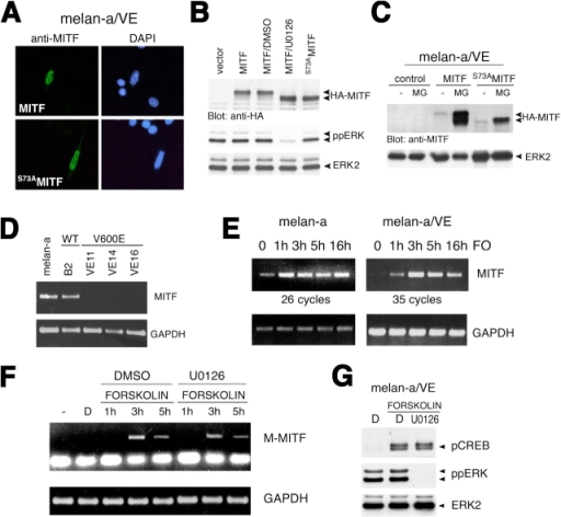 Constitutive ERK activation triggers MITF down-regulation. (A) Immunofluorescent analysis of recombinant HA-MITF and HA-S73AMITF in melan-a–VE16 cells using anti-MITF antibody C5. Nuclei are counterstained with DAPI. (B) Western blot analysis of transiently expressed HA-MITF, HA-S73AMITF, ppERK, and ERK2 in melan-a–VE16 cells that were either untreated or treated with 10 μM DMSO or U0126 for 2 h. Control cells were transfected with empty vector, and HA-MITF proteins were detected using anti-HA. (C) Western blot analysis of stably expressed HA-MITF or HA-S73AMITF in melan-a–VE16 cells untreated or treated with 30 μM MG132 for 8 h. HA-MITF proteins were detected using anti-MITF (C5). Total ERK2 is used as a loading control. (D) RT-PCR of melanocyte-specific MITF mRNA expression in parental melan-a cells and clones B2, VE11, VE14, and VE16. GAPDH serves as a loading control. (E) RT-PCR analysis of MITF expression in melan-a and melan-a–VE cells treated with 20 μM forskolin (FO) for the indicated times. GAPDH serves as a loading control. (F) RT-PCR analysis of melanocyte-specific MITF mRNA in melan-a–VE cells treated with 20 μM forskolin for the indicated times in the presence of 10 μM U0126 or DMSO (D) for a 10-min pretreatment. GAPDH serves as a loading control. (G) Western blot analysis for phosphorylated CREB, ppERK, and ERK2 in melan-a–VE cells treated with 10 μM forskolin for 30 min, 10 μM U0126 for a 10-min pretreatment, or DMSO.
