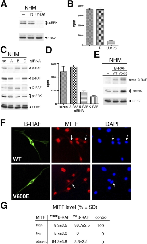 V600EB-RAF activates ERK and suppresses MITF expression in human melanocytes. (A) Western blot analysis of ppERK and ERK2 in primary human melanocytes (NHM) that were untreated or treated with 10 μM U0126 for 24 h or with DMSO control (second lane). (B) Thymidine incorporation into NHM treated with 10 μM U0126 for 24 h, DMSO, or no treatment control in the presence of melanocyte growth factor supplement. (C) Western blot analysis of A-RAF, B-RAF, C-RAF, ppERK, and ERK2 in NHM transfected with either scrambled control siRNA (sc) or siRNAs specific for A-RAF, B-RAF, or C-RAF. (D) Thymidine incorporation into NHM in the presence of melanocyte growth factor supplement 72 h after transfection with the indicated siRNAs. Error bars represent SD. (E) Western blot analysis for myc-tagged B-RAF, ppERK, and ERK2 in NHM transiently expressing either myc-V600EB-RAF or myc-WTB-RAF. B-RAF was revealed using the antibody 9E10. (F) Immunofluorescence analysis of transiently expressed myc-V600EB-RAF and myc-WTB-RAF and of endogenous MITF in NHM transfected with myc-V600EB-RAF or myc-WTB-RAF. B-RAF proteins are revealed with anti-myc, and MITF is revealed with C5. Nuclei are counterstained with DAPI. Arrows indicate nuclei of transfected cells expressing either wild-type B-RAF or mutant V600EB-RAF. (G) Quantification of immunofluorescence data. Means of three experiments are shown (100 cells were counted in each experiment). Vector-transfected cells served as a control.