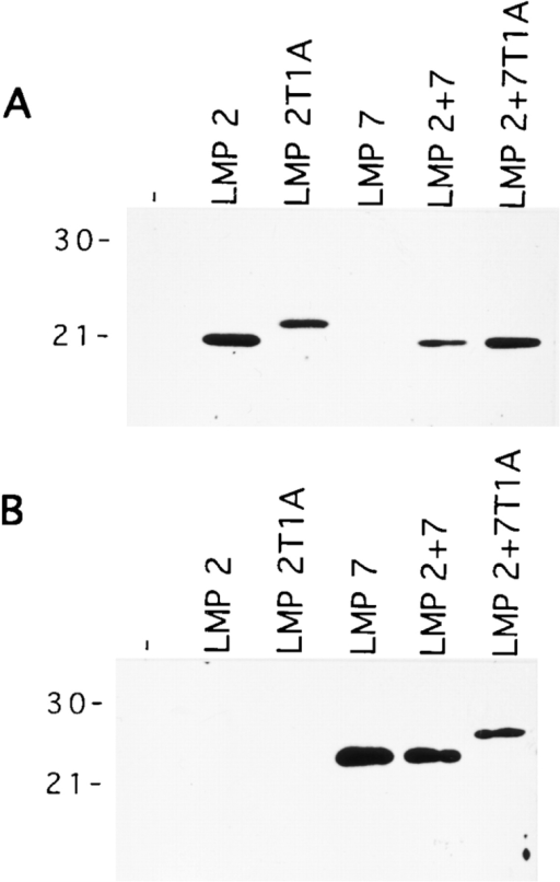Incorporation of the LMP2 and LMP7 subunits in 20S proteasomes of T2 transfectant lines. 500 ng (A) or 150 ng (B) of purified 20S proteasomes was separated by SDS-PAGE and probed with mouse LMP2–specific (A) or mouse LMP7–specific (B) polyclonal rabbit antisera. Molecular mass markers (kD) are shown at left.