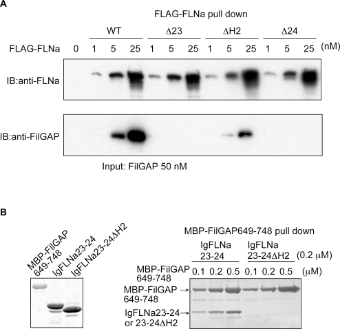 FLNa dimerization and hinge-2 are essential for high avidity binding to FilGAP.(A) Full-length FilGAP was pulled down with increasing amounts of wild-type and deletion mutants (Ä23; deletion of IgFLNa23, ÄH2; deletion of FLNa hinge-2, Ä24; deletion of IgFLNa24) of FLNa tagged to FLAG immunoprecipitated with FLAG-specific mAb immobilized on agarose. Bound FilGAP was detected by immunoblotting using rabbit pAbs to FilGAP. (B) Left panel shows purified MBP-FilGAP649-748, IgFLNa23-24, and IgFLNa23-24 ÄH2 separated on SDS-PAGE and stained with CBB. Right panel; IgFLNa23-24 or IgFLNa23-24 ÄH2 were pulled down with amylose beads coated with increasing amounts of the MBP-FilGAP649-748. Proteins were visualized by CBB staining.
