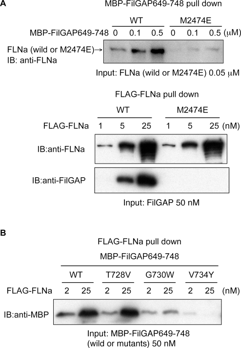 Point mutations of FLNa and FilGAP confirms the in silico model of their binding interaction.(A) A point mutation in FLNa (M2474E) abolishes the complexing of FLNa and FilGAP. The upper panel shows amylose beads coated with MBP-FilGAP649-748 pulls down wild-type FLNa but not FLNaM2474E. The lower panel shows wild-type (WT) FLAG-FLNa immobilized on FLAG-specific mAb immobilized on agarose beads, but not FLAG-FLNaM2474E, pull down full-length FilGAP. (B) FLAG-FLNa does not pull point mutants of FilGAP at G730W and V734Y. T728V mutation has no effect on the interaction.