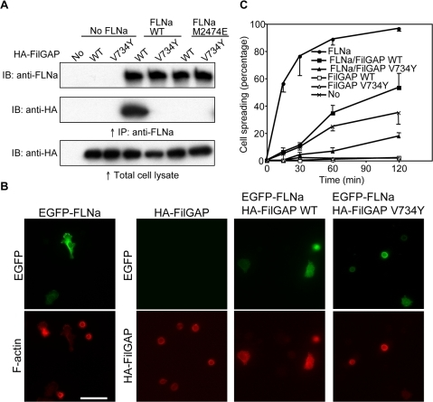 In vivo interaction of FLNa and FilGAP.(A) Immunoprecipitation of the FLNa/FilGAP complex expressed in FLNa-deficient M2 cells. Wild-type or mutant (M2474E) FLNa were co-expressed with wild-type or mutant (V734Y) HA-tagged FilGAP in M2 cells. FLNa was immunoprecipitated with FLNa-specific mAb and bound HA-FilGAP was detected by immunoblotting using HA-specific mAb. (B and C) Effects of wild-type and mutant FilGAP on cell spreading. M2 cells were transfected with EGFP-FLNa, wild-type or V734Y mutant HA-FilGAP. After 48 h, cells were trypsinized, plated on coverslips coated with fibronectin, and fixed at 15, 30, 60, and 120 min after plating. Cells were stained with mouse mAbs to HA for FilGAP (red, three lower right panels) or Texas-red phalloidin for F-actin (red, lower left panel). FLNa was detected with EGFP (green, upper panels). Stained cells at 120 min after plating are shown in (B). Scale bar, 50 ìm. The percentages of spread cells were plotted as the mean±SEM (n = 3) in (C).