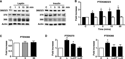 Leptin increases PTEN phosphorylation in MIN6 pancreatic β-cells. A, phosphorylated PTEN levels in MIN6 cells using the phospho-specific PTEN antibodies indicated (cluster site, Ser-370 and Thr-366), in response to 10 nm leptin or 10 nm insulin for the indicated times (minutes). B, the bar graph shows mean normalized levels of phosphorylated PTEN at the cluster phosphorylation site (380/2/3) for untreated cells and for cells stimulated with leptin (filled bars; n = 6) and insulin (open bars; n = 8) up to 30 min (*, p < 0.05, versus control (C) or insulin). C, bar graph shows the mean normalized levels of phosphorylated Thr-366 PTEN after stimulation with 10 nm insulin for 5 and 30 min. D, bar graphs showing mean normalized levels of phosphorylated Thr-366 PTEN and Ser-370 PTEN under non-stimulated conditions (C) and after stimulation with 10 nm leptin in the absence (L) and presence of DMAT (L+D) and CT99021 (L+CT; n = 7 for each). *, p < 0.05.
