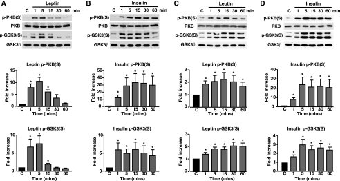 Leptin and insulin increase PKB and GSK3 serine phosphorylation in N29/4 and MIN6 cells. PKB (Ser-473 (S)) and GSK3 (Ser-9/Ser-21) phosphorylation was determined in N29/4 (A and B) and MIN6 (C and D) cells, stimulated with 10 nm leptin (A and C), or 10 nm insulin (B and D) for the indicated times (minutes). The bar graphs below each set of blots show mean normalized p-PKB and p-GSK3 levels for untreated cells and cells stimulated with leptin (N29/4 (A, n = 9), MIN6 (C, n = 6)) or with insulin (N29/4 (B, n = 9), MIN6 (D, n = 6)). *, p < 0.05, compared with control level for each treatment. Cont, control.