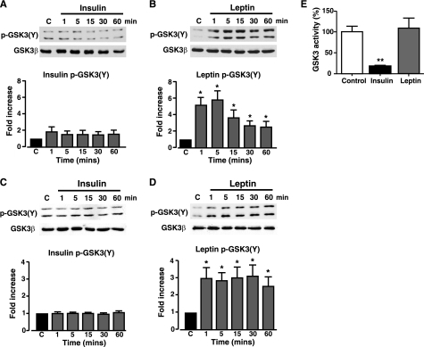 Leptin, but not insulin, increases GSK3 tyrosine phosphorylation in N29/4 and MIN6 cells. GSK3 (Tyr-216/Tyr-279 (Y)) phosphorylation was determined in N29/4 (A and B) and MIN6 cells (C and D) stimulated with 10 nm insulin (A and C) or 10 nm leptin (B and D) for the indicated times (minutes). The bar graphs below each set of blots show mean normalized p-GSK3 for untreated cells and cells stimulated with insulin (N29/4 (A, n = 9), MIN6 (C, n = 6)) or with leptin (N29/4 (B, n = 9), MIN6 (D, n = 6). *, p < 0.05, compared with control level for each treatment. E, N29/4 cells were stimulated with either 10 nm leptin or 50 nm insulin for 30 min. The bar graph denotes the mean normalized GSK3 activity and shows that insulin significantly inhibited GSK3 activity, whereas leptin had no effect on GSK3 activity (n = 3 for each). Cont, control.