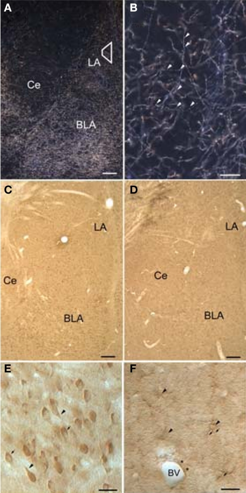 Light micrographs showing dopamine beta-hydroxylase (DβH) and beta-adrenergic receptors (βARs) in the amygdala. (A) Dark-field micrograph shows DβH in the amygdala. Trapezoid corresponds to area examined by electron microscopy. (B) Higher-magnification dark-field micrograph illustrates thin, varicose DβH axons. Arrowheads point to varicosities. (C,D) Low-magnification bright-field micrographs show βAR 248 (C), and βAR 404 (D) are distributed homogenously throughout the amygdala. (E) Higher magnification shows that βAR 248 intensely labels somata and some proximal dendrites (arrowheads). The nuclei of some labeled cells are seen in some cells (arrows) but are difficult to distinguish in others. (F) Higher-power Nomarski optics show labeled astrocytic cell bodies (arrowheads) and their radiating processes (arrows). Also shown is an astrocytic process (asterisks) surrounding a blood vessel (BV). Scale bar = 100 μm in A–D, 50 μm in B, E, and F. BLA, basolateral amygdala; Ce, central amygdala; LA, lateral amygdala.