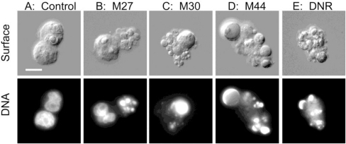 Apoptotic morphology induced by cyanobacterial extracts in AML cells. Rat leukemia cells (A: control) were added the aqueous extract of the cyanobacterial strain M27 (B), M30 (C), M44 (D) or 50 nM daunorubicin (DNR, E) as described in the legend to Figure 1, and photomicrographs were taken using differential interference contrast (upper) and UV (lower). Bar represent 10 μm.