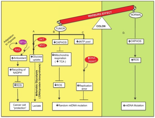"Network modeling of the interconnections among the crucial factors involved in metabolic flow and signaling pathways of the Warburg effect to ""protect"" the cancer cells.(A) Cancer cells make use of their nutrient-rich environment by taking in glucose and converting it into molecular precursors by aerobic glycolysis (shown in yellow). This is mediated by activation of proto-oncogenes such as AKT and MYC and other genes in important growth factor signaling pathways. Moreover, RAS-mediated activation of HIF1 induces adaptation to hypoxic environments and promotes ""niches"" that are conducive to cancer cells. In addition, the use of antioxidants and recycling of NADPH as defense mechanisms to sequester ROS favor the survival of cancer cells. (B) Oxidative phosphorylation (OXPHOS) impairment leads to crippled mitochondrial respiration. The dysfunctional TCA cycle generates fewer reactive oxygen species that may or may not induce DNA damage, and this subsequently leads to fewer mitochondrial DNA mutations. (C) Efficient repair of mtDNA leads to fewer mutations and less mitochondrial dysfunction. (D) In contrast, normal, low proliferative cells utilize OXPHOS and generate ROS that induce mtDNA damage and increase mutation frequency (shown in green)."