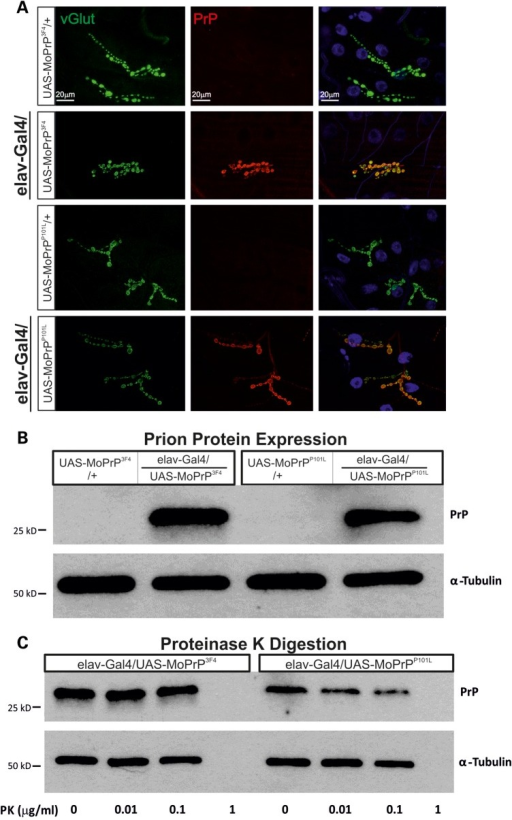 Prion protein expression does not result in PK resistance at the larval NMJ. (A) IHC staining of third instar NMJs show strong prion protein labelling in elav-Gal4/UAS-MoPrP3F4 and elav-Gal4/UAS-MoPrPP101L larvae but no prion expression in respective UAS control NMJs. (B) Protein extracts of Tg-PrP lines (elav-Gal4/UAS-MoPrP3F4 and elav-Gal4/UAS-MoPrPP101L) with appropriate controls (UAS-MoPrP3F4/+ and UAS-MoPrPP101L/+) were probed for PrP (Ab: AH6 anti-PrP) and α-tubulin. Note, PrPC can undergo glycosylation leading to multiple PrP bands (25,98) which are not detectable in larvae. n = 3 animals per lane. (C) Third instar larval extracts from Tg-PrP lines (elav-Gal4/UAS-MoPrP3F4 and elav-Gal4/UAS-MoPrPP101L) treated with a mild PK gradient (0–1 μg/ml) showed no PK resistance. PK completely digested prion protein (∼25 kDa bands) at relatively low concentrations (∼1 μg/ml) and so is α-tubulin being digested. n = 5 larval heads per lane.