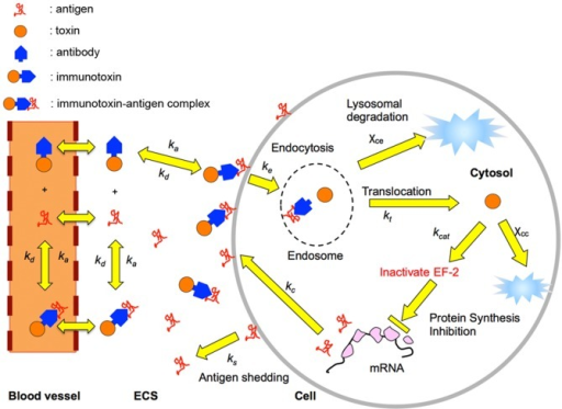 Kinetic events involved in immunotoxin-antigen binding and intracellular trafficking.Each yellow arrow indicates a kinetic step of the model. The tumor cell sheds the surface antigen and the surface complexed antigen at a certain rate. The immunotoxin molecule exiting from the capillary diffuses in the extra-cellular space and binds to either the surface antigen or shed antigen by the association reaction between the antigen and immunotoxin. The surface-bound immunotoxin is internalized by the receptor-mediated endocytosis and mostly inactivated in the endosomal stage. The surviving toxin translocates to the cytosol, where the toxin inhibits protein synthesis and eventually causes cell death. In non-intoxicated cells, the antigen is replenished by fresh protein synthesis.