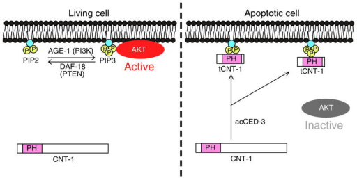 A model of CED-3-activated suppression of AKT signaling by CNT-1 in C. elegans. In non-apoptotic cells, some AKT kinases are recruited to the plasma membrane and activated by PIP3 to transduce the survival signal. In apoptotic cells, CNT-1 is cleaved by activated CED-3 to generate potent phosphoinositide-binding tCNT-1, which translocates to the plasma membrane from the cytoplasm. tCNT-1 outcompetes AKT kinases for binding to PIP3 and thus displaces and inactivates AKT kinases, leading to loss of the survival signal and apoptosis.