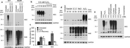 K63 polyubiquitin transiently accumulates in response to H2O2a, Anti-K63- and K48- specific ubiquitin western blot of lysates from WT and K63R cells upon treatment with, and subsequent recovery from, 0.6 mM H2O2. b, Anti-K63 ubiquitin western blot of lysate from WT cells treated with H2O2 for different amounts of time. c, Histogram showing dynamics of K63 and K48 ubiquitin linkages measured by quantitative targeted mass spectrometry. Plot shows mean of two biological replicates with two technical replicates each, and error bars indicate the range of values across the replicates. d, Anti-K63 and anti-K48 ubiquitin western blot of lysate from WT cells subjected to indicated compounds and heat-shock for designated times. e, Anti-K63 ubiquitin western blot of lysate from WT cells treated with the indicated oxidizing agents for 30 min. Anti-GAPDH was used as loading control. WT, wild-type SUB280 yeast strain. K63R, ubiquitin K63R mutant SUB413 yeast strain. MW, molecular weight.