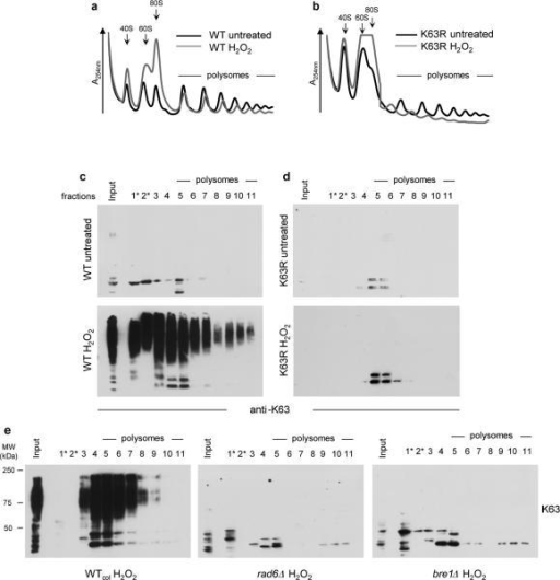 K63 ubiquitin modifies proteins in monosome and polysome fractions(a,b), Sucrose sedimentation profiles of polysomes from the (a) WT and (b) K63R mutant cells extracted using a physiological MgCl2 concentration (3 mM). (c–e) Anti-K63 ubiquitin western blot from stabilized polysomes extracted using 30 mM MgCl2 from (c) WT and (d) K63R mutant cells or (e) WTcol, rad6Δ and bre1Δ cells. Ponceau-S loading control is shown in Supplementary Fig. 5. (*) Half of the sample volume was loaded for better visualization. WT, wild-type SUB280 yeast strain, K63R, ubiquitin K63R mutant SUB413 yeast strain. WTcol, wild-type cells S288c used with the deletion collection. MW, molecular weight.