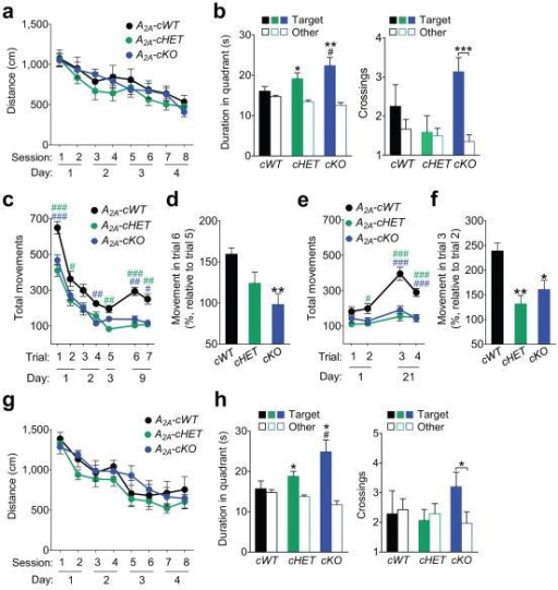 Conditional ablation of A2A receptors in astrocytes enhances memory in mice(a–b) GFAP-Cre/loxP-Adora2a mice were tested in the Morris water maze at 2–4 months of age. (a) Distance traveled to reach the platform during hidden platform training (two trials per session, two sessions per day for four days). Repeated measures two-way ANOVA: F(14, 308) = 0.34, P = 0.99 for interaction effect, F(2, 44) = 1.34, P = 0.27 for genotype effect. n = 12 A2A-cWT, 18 A2A-cHET, and 17 A2A-cKO mice. (b) Probe trial conducted 6 days after training. Left: Durations in target and non-target (other) quadrants. One-way ANOVA: F(2, 42) = 3.09, P = 0.056; one-sample t-test vs. chance duration of 15 s with FDR correction for multiple comparisons (Target vs. chance): P = 0.36 (cWT), P = 0.018 (cHET), P = 0.0075 (cKO). n = 11 cWT, 18 cHET, and 16 cKO mice. #P < 0.05 vs. cWT (Dunnett's test); *P < 0.05, **P < 0.01 (one-sample t-test). Right: Crossings of target and non-target (other) platform locations. Two-way ANOVA: F(2, 85) = 3.66, P = 0.03 for interaction effect; F(2, 85) = 2.45, P = 0.09 for genotype effect. Student's t-test with Welch's correction (Target vs. Other of matching genotype): P = 0.35 (cWT), P = 0.85 (cHET), P = 0.0003 (cKO). ***P < 0.001 (Student's t-test with Welch's correction). (c–f) GFAPCre/loxP-Adora2a mice were tested in the open field at 2–4 months of age. (c–d) Mice were habituated to the open field in 5-min trials (1–2 trials per day) for 3 days and tested in the same arena 6 days later (day 9). (c) Repeated measures two-way ANOVA: F(12, 264) = 1.14, P = 0.33 for interaction effect, F(2, 44) = 14.99, P < 0.0001 for genotype effect. n = 12 A2A-cWT, 18 A2A-cHET, and 17 A2A-cKO mice. #P < 0.05, ##P < 0.01, ###P < 0.001 vs. A2A-cWT (Bonferroni). Green hash tags indicate differences between A2A-cWT and A2A-cHET groups, and blue hash tags indicate differences between A2A-cWT and A2A-cKO groups. (d) Extent of dishabituation on day 9 after mice had not been tested in the same open field for 6 days (test trial 6 relative to trial 5). One-way ANOVA: F(2, 41) = 4.79, P = 0.014. n = 11 A2A-cWT, 17 A2A-cHET, and 17 A2A-cKO mice. **P < 0.01 vs. cWT (Dunnett's test). (e–f) Mice were rehabituated to the open field in two 5-min trials in one day and tested 20 days later (day 21). (e) Repeated measures two-way ANOVA: F(6, 132) = 4.38, P = 0.0005 for interaction effect, F(2, 44) = 25.61, P < 0.0001 for genotype effect. n = 12 A2A-cWT, 18 A2A-cHET, and 17 A2A-cKO mice. #P < 0.05, ###P < 0.001 vs. A2A-cWT (Bonferroni). (f) Extent of dishabituation on day 21 (test trial 3 relative to trial 2). One-way ANOVA: F(2, 42) = 8.27, P = 0.0009. n = 11 cWT, 17 cHET, and 17 cKO mice. *P < 0.05, **P < 0.01 vs. cWT (Dunnett's test). (g–h) GFAP-Cre/loxP-Adora2a mice were tested in the Morris water maze at 15–17 months of age. (g) Distance traveled to reach the platform during hidden platform training (two trials per session, two sessions per day for four days). Repeated measures two-way ANOVA: F(14, 217) = 0.60, P = 0.86 for interaction effect, F(2, 31) = 1.80, P = 0.18 for genotype effect. n = 7 A2A-cWT, 15 A2A-cHET, and 11 A2A-cKO mice. (h) Probe trial conducted 6 days after training. Left: Durations in target and non-target (other) quadrants. One-way ANOVA: F(2, 30) = 4.36, P = 0.022; one-sample t-test vs. chance duration of 15 s with FDR correction for multiple comparisons (Target vs. chance): P = 0.73 (cWT), P = 0.011 (cHET), P = 0.011 (cKO). n = 7 A2A-cWT, 15 A2A-cHET, and 11 A2A-cKO mice. *P < 0.05 (one-sample t-test).#P < 0.05 vs. cWT (Dunnett's test). Right: Crossings of target and non-target (other) platform locations. Two-way ANOVA: F(2, 59) = 1.75, P = 0.18 for interaction effect, F(2, 59) = 0.49, P = 0.61 for genotype effect. Student's t-test with Welch's correction (Target vs. Other of matching genotype): P = 0.87 (cWT), P = 0.66 (cHET), P = 0.037 (cKO). *P < 0.05 (Student's t-test with Welch's correction). Values are means ± s.e.m.