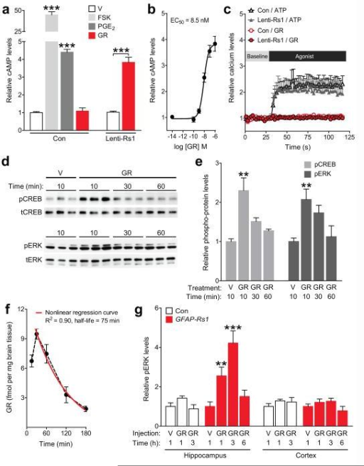 Rs1 ligand increases Gs-coupled signaling in Rs1-expressing astrocytes(a) Relative cAMP levels in primary astrocyte cultures established from non-transgenic mice and transduced (Lenti-Rs1) or not (Con) with a lentivirus encoding Rs1. Following 15-min treatment with vehicle (V) or the Rs1 ligand GR-125487 (GR, 1 μM), cultures were analyzed for intracellular cAMP levels. Forskolin (FSK, 30 μM) and prostaglandin E2 (PGE2, 40 μM) served as positive controls. cAMP levels were normalized to the average levels in vehicle-treated cells within each transduction condition. Two-way ANOVA: F(1, 35) = 81.75, P < 0.0001 for interaction effect. One-way ANOVA: F(3, 38) = 729.7, P < 0.0001. n = 15 Con/V, 3 Con/FSK, 16 Con/PGE2, 8 Con/GR, 8 Lenti-Rs1/V, and 8 Lenti-Rs1/GR wells from three independent experiments. ***P < 0.001 vs. leftmost bar (Dunnett's test) or as indicated by bracket (Bonferroni test). (b) Dose-response curve for relative cAMP levels after GR treatment in Lenti-Rs1-transduced astrocytes. n = 8 (1e-14 M), 7 (1e-10 M), 6 (1e-9 M), 6 (1e-8 M), 9 (1e-7 M), and 8 (1e-6 M) wells from 2–3 independent experiments. R2 = 0.866. (c) Calcium levels in primary astrocyte cultures transduced as in (a). Cells were treated with GR (10 μM) or ATP (100 μM) and assayed for intracellular calcium levels with Calcium-5, a calcium-sensitive fluorescent dye. Fluorescence intensities were normalized to the average baseline intensity within each well. The maximum intensities per well were compared between groups. Two-way ANOVA: F(1, 20) = 0.14, P = 0.72 for interaction effect, F(1, 20) = 14.57, P = 0.0011 for agonist effect, F(1, 20) = 0.16, P = 0.69 for Lenti-Rs1 effect. n = 6 wells per condition from two independent experiments. (d–e) Proteins regulated by Gs-coupled signaling were quantified in Lenti-Rs1-transduced astrocytes by western blot analysis after treating cultures with vehicle or GR (1 μM) for the indicated durations. Representative cropped western blots (d) and densitometric quantification of western blot signals (e). Blots were probed for phosphorylated (p) and total (t) CREB and ERK. Ratios of phosphorylated/total protein were normalized to the average ratio in vehicle-treated cells. n = 5 pCREB/V-10, 7 pCREB/GR-10, 6 pCREB/GR-30, 3 pCREB/GR-60, 6 pERK/V-10, 7 pERK/GR-10, 6 pERK/GR-30, and 3 pERK/GR-60 wells from two independent experiments. One-way ANOVA: F(3, 17) = 6.61, P = 0.0037 (pCREB); F(3, 18) = 5.66, P = 0.0065 (pERK); **P < 0.01 vs. V (Dunnett's test). Full-length blots are presented in Supplementary Figure 13. (f) GR concentration in whole hemibrains of 3–4-month-old non-transgenic mice determined by mass spectrometry-HPLC following a single i.p. injection of GR (1 mg/kg) and transcardial perfusion at the indicated times post-injection. n = 3 mice per time point. (g) Hippocampal and cortical pERK levels in 2–4-month-old GFAP-tTA (Con) and GFAP-Rs1 mice determined by western blot analysis after a single injection of vehicle or GR (3 mg/kg, i.p.). pERK/tERK ratios were normalized to the average ratios in saline-treated mice within each genotype and brain region. Two-way ANOVA: Hippocampus, F(2, 32) = 8.06, P = 0.0015 for genotype by treatment interaction; Cortex, F(2, 28) = 0.09, P = 0.91 for genotype by treatment interaction; n = 5 HP/Con/V-1h, 10 HP/Con/GR-1h, 4 HP/Con/GR-3h, 5 HP/GFAP-Rs1/V-1h, 10 HP/GFAP-Rs1/GR-1h, 4 HP/GFAP-Rs1/GR-3h, 4 HP/GFAP-Rs1/GR-6h, 5 CTX/Con/V-1h, 10 CTX/Con/GR-1h, 4 CTX/Con/GR-3h, 3 CTX/GFAP-Rs1/V-1h, 8 CTX/GFAP-Rs1/GR-1h, 4 CTX/GFAPRs1/GR-3h, and 4 CTX/GFAP-Rs1/GR-6h mice. **P < 0.01, ***P < 0.001 vs. HP/GFAP-Rs1/V (Bonferroni test). Values are means ± s.e.m.