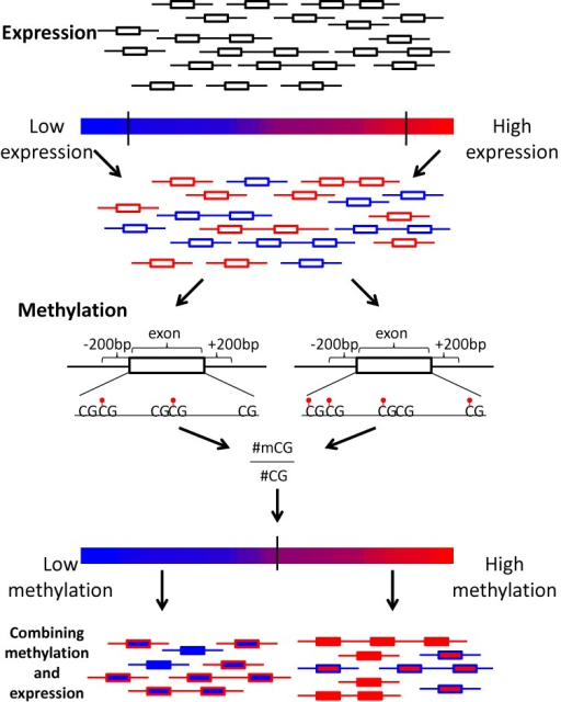 Graphical summary of the exon methylation and expression analyses. Exons are represented as rectangles. The color of the rectangle frame represents the exon's expression rate, red and blue for high and low expression, respectively. The color of the rectangle represents the methylation level, red and blue for methylated and hypomethylated exons, respectively.