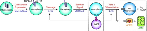 Scheme for regulation and function of TREM-2 in chronic postviral lung disease. Major steps include: (1) early activation of lung macrophages in which viral replication increases TREM-2 at the cell surface; (2) cleavage of TREM-2 from the cell surface to form sTREM-2 in a process that is up-regulated by IL-13 and DAP12; (3) sTREM-2 actions to prevent apoptosis in association with increased ERK1/2 activation and thereby allow for amplified macrophage interaction with iNKT cells and consequent IL-13 production; and (4) IL-13–dependent differentiation of the macrophage population toward an M2 pattern of gene expression (including Arg1 and Chi3l3) and differentiation of an airway progenitor epithelial cell (APEC) niche to airway mucous cells (AMCs) as signatures of chronic lung disease.