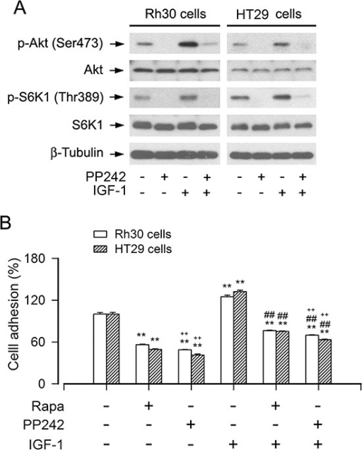 Inhibition of mTORC1/2 by PP242 potently suppresses the basal or IGF-1-stimulated cell adhesionSerum-starved Rh30 and HT29 cells were treated with or without PP242 (1 μM) or rapamycin (Rapa, 100 ng/ml) for 2 h, followed by stimulation with or without IGF-1 (10 ng/ml) for 1 h. (A) Total cell lysates were subjected to Western blotting using indicated antibodies, showing that PP242 potently inhibited the basal or IGF-1-stimulated phosphorylation of Akt (Ser473) and S6K1 (Thr389) in Rh30 and HT29 cells. The blots were probed for β-tubulin as a loading control. Similar results were observed in at least three independent experiments. (B) Cell adhesion was determined using CN IV-coated cell adhesion assay, showing that inhibition of mTORC1/2 by PP242 dramatically suppressed the basal and IGF-1-stimulated adhesion in Rh30 and HT29 cells, and the inhibitory effect of PP242 was more potent that of Rapa. Results are means ± SE (n = 6). **P < 0.01, difference versus control group; ##P < 0.01, difference versus IGF-1 group; ++P < 0.01, PP242 group or PP242+IGF-1 group versus Rapa group or Rapa+IGF-1 group.