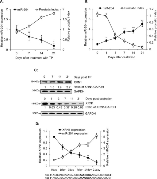 Inverse correlation of miR-204 and XRN1 expression in the ventral prostates of ratsMale rats were injected with TP (s.c., 25mg/kg/day) for 1–3 weeks. Ventral prostates were removed from three rats at the indicated time and were used to measure levels of miR-204 using RT-qPCR (A) and XRN1 using immunoblotting analysis (C). Ventral prostates were isolated from the three castrated rats at various times after castration, as indicated, and were used to monitor miR-204 expression (B) and for immunoblotting analysis of XRN1 expression (C). The data were obtained from three independent assays (Bar, mean± SEM; * p<0.05; ** p<0.01, n=3). (D) Inverse correlation between miR-204 and XRN1 protein in ventral prostates of castrated rats. Bottom, The 33-bp sequences in the 3′-UTRs of rat XRN1 mRNA (from nt3731 to nt3763) and human XRN1 mRNA (from nt4619 to nt4651) including the base-pairs (underlined) complementary to seed sequence of miR-204.