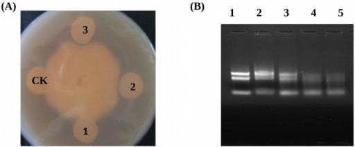 Antimicrobial activity ribonuclease activity and assays for the recombinant GmPRP protein.(A) Inhibition of P. sojae race 1 growth by purified recombinant GmPRP. 1, 15 μg renatured recombinant GmPRP protein; 2, 25 μg renatured recombinant GmPRP protein; 3, 35μg renatured recombinant GmPRP protein; CK, 35 μg boiled renatured recombinant GmPRP protein. (B) Ribonuclease activities of recombinant GmPRP proteins on soybean RNA. Gel electrophoresis using 1.0% agarose gel was performed to separate hydrolyzed RNAs. Each reaction mixture containing total RNA from soybean was incubated for 2 h at 37°C. Lane 1, 5 μg RNA+ Elution buffer; Lane 2, 5 μg RNA+ 6 μg of boiled dialytically renatured GmPRP protein. Lane 3, 5 μg RNA+ 2 μg dialytically renatured GmPRP protein; Lane 4, 5 μg RNA+ 4 μg dialytically renatured GmPRP protein; Lane 5, 5 μg RNA+ 6 μg dialytically renatured GmPRP protein.