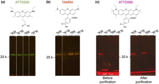 Fluorescence image of (a) ATTO520-; (b) tetramethylrhodamine (TAMRA)-; and (c) ATTO590-incorporated Q'-bodies. Scheme above each gel is the chemical structure of the dye used.