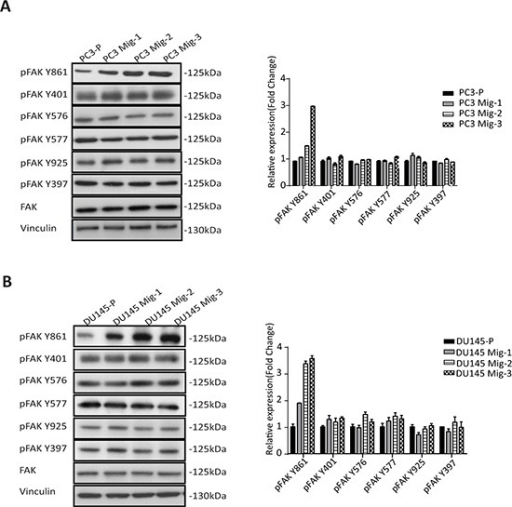 Migratory variants of PCa cells have increased phosphorylation of FAK Y861A. Expression of FAK and phosphorylation of individual FAK tyrosine sites on indicated cell lysates was determined by immunoblotting (left panel). Quantification (right panel). B. Identical analyses were performed in DU145 cells; immunoblot (left panel); quantification (right panel).