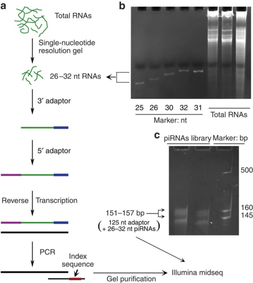 Flowchart of the protocol used to prepare sncRNAs from the cell lines for RNA sequencing.(a) Outlined steps of the preparation. (b) Size-guided sncRNA extraction at 1 nt resolution. (c) Secondary sncRNA purification after library construction based on sizes for RNA sequencing. The smaller sized products (low band) are likely microRNAs.