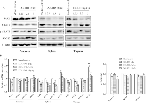 DGLHD decreased JAK2, STAT3 protein expression and increased SOCS3 level in the pancreas, spleen and thymus.(A) Respectively western blot results showed the expressions of JAK2, STAT3, p-STAT3 and SOCS3 in 12 week-old NOD mice treated with DGLHD for 4 weeks from 8 until 12 weeks and model control group. β-actin was used as loading control. (B) Bar graphs showed semi-quantitative evaluation of their expression by densitometry. Data were presented as means ± SD (n = 3). *P < 0.05, **P < 0.01 compared with model control group.