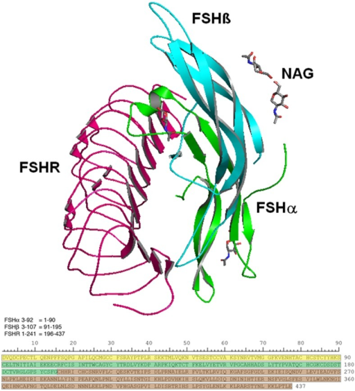 FSH/FSHR quaternary and primary structures examined in this study.(a). Structure showing the FSH-FSHR complex with the partial glycosylation of NAG (N-acetylglucosamine). Ribbons colored green and cyan identify FSHα and FSHβ subunits, respectively. The former is glycosylated by NAG at sequence positions 52 and 78, while the latter is glycosylated at positions 7 and 24. NAGs are shown as grey colored stick models. The pink ribbon shows a portion of the FSH receptor extracellular domain that possesses the high affinity FSH binding site. (b). The amino acid sequences for FSHα residues 3–92 (yellow), FSHβ 3–107 (green), and FSHR 1–241 (brown) are shown below. In subsequent figures a colored bar will indicate each protein, as the software numbers the residues 1–437.