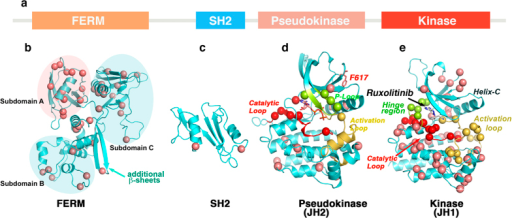 Mapping of ruxolitinib-resistant mutations on JAK2 structure.(a) Primary structure of JAK2 kinase showing structural subdomains. (b) FERM domain model, developed by homology modeling using FAK coordinates (PDB: 2J0J and 2J0L), showing different subdomains and distribution of resistant variants. Subdomains A and C have the highest number of mutations. In contrast to FERM domain of FAK, we identified two extra β-sheets in JAK2 between subdomains B and C (cyan arrow). (c) Homology model of the SH2 domain based on SRC and ABL structures (1OPK and 2SRC), showing resistant mutations in the α-helices. (d) Pseudokinase structure (PDB: 4FVR) showing the oncogenic mutation V617F (green) and many resistant variants clustered in the catalytic site—around the ATP-binding site (red), P-loop (green), and helix-C (pink) (e). JAK2 kinase domain structure (PDB: 2B7A) docked with ruxolitinib showing the distribution of resistant mutations. Many mutations are clustered around the ATP binding and catalytic sites, and in the C-lobe. The catalytic site is comprised of a catalytic loop (red), hinge region (green) and activation loop (yellow). α-C of mutant residues are presented as circles.