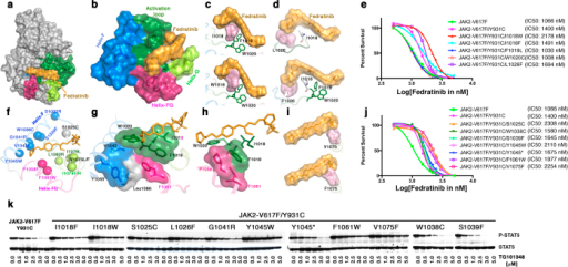 Mutagenesis of residues in the substrate-binding pocket confers moderate resistance to fedratinib.(a) Surface depiction of JAK2 kinase in active conformation, showing the activation loop (green) and binding of fedratinib (yellow) in the substrate-binding pocket. (b) Substrate-binding pocket is comprised of an activation loop (green) and helices F (blue), FG (purple) and G (green). Amino-acid residues IFWY in the activation loop is a highly conserved kinase motif that serves as a hydrophobic platform for inhibitor and substrate-binding (green surface sandwiched between inhibitor and helix F). (c) Surface depiction of the IFWY motif (upper panel); an Ile 1018-to-tryptophan substitution results in steric clash with fedratinib (lower panel). (d) Surface depiction of Leu 1026 (upper panel); a Leu 1026-to-phenylalanine substitution results in steric clash with the benzene-sulfonamide group of fedratinib. (e) Dose-response cell proliferations showing moderate increase in IC50 values by JAK2 variants JAK2V617F-Y931C/I1018W and JAK2V617F-Y931C/L1026F; on the other hand, mutations at F1019L and W1020C resulted in inactive kinase (i.e., no change in IC50 values). (f) Mutations identified from drug resistant screen at low dose of fedratinib (2.5 μM) using BaF3 cells expressing JAK2-V617F/Y931C. The α-carbon of each resistant mutation is shown as a circle. (g) Surface depiction of Tyr 1045 showing the π-stacking with residues Val 1042 (helix-F), Leu1086 (helix H), Phe1061 (helix FG), and the IFWY activation-loop motif. A bulkier substitution at Y1045 would push the IFWY motif towards the inhibitor, thereby possibly conferring resistance. (h) A bulkier substitution at Pro 1058 would push the Phe 1019 of IFWY, which might affect fedratinib binding. (i) A bulkier substitution at Val1075 (e.g., to phenylalanine) would cause steric hindrance to fedratinib. (j) Dose-response growth curves showing higher IC50 values for S1025C, Y1045W, F1061W, and V1075F. Variants W1038C, S1039F and Y1045* encode weekend kinase (Fig. S14), but displayed subtle increases in IC50. (k) Immunoblot analysis of phospho STAT5 (upper panel) and total STAT5 (lower panel) in BaF3 cells expressing JAK2-V617/Y931C variants. Variants S1025C, Y1045W and V1075F are resistant to 5 μM fedratinib, and also conferred highest resistance in cell-proliferation assays.